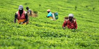 Leadership wrangles engulf Kiru Tea factory